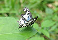 Castalius rosimon - Common Pierrot 33.jpg