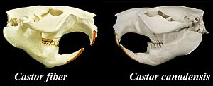 Eurasian beaver - Skulls of a European and North American beaver