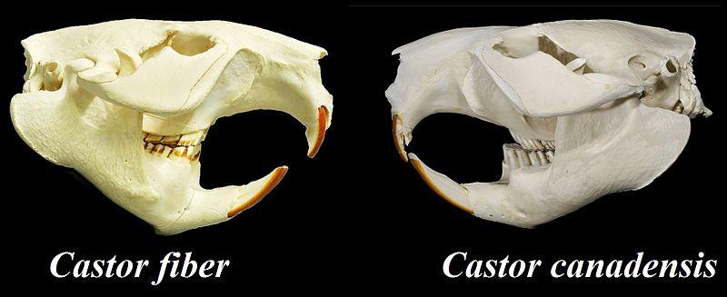https://upload.wikimedia.org/wikipedia/commons/thumb/7/7f/Castor_fiber_vs._Castor_canadensis_skulls.jpg/800px-Castor_fiber_vs._Castor_canadensis_skulls.jpg
