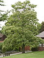 Catalpa ovata tree 1.jpg