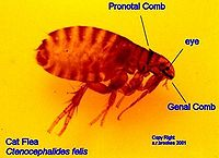 200px catflea2jpg cat fleas 200x145