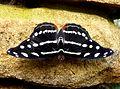 Catonephele sp. - Flickr - gailhampshire (1).jpg