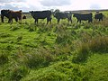 Cattle at Hope House Farm - geograph.org.uk - 449452.jpg