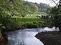 Cattle beside River Lew - geograph.org.uk - 430544.jpg