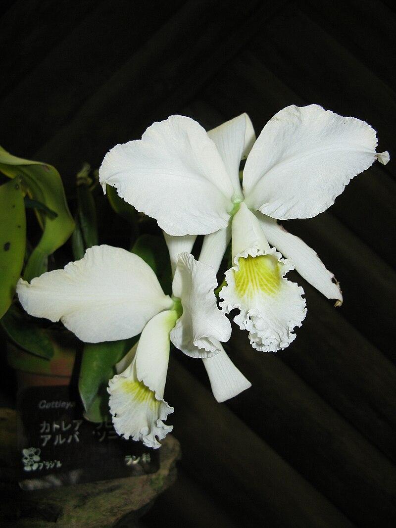 "Cattleya labiata var. alba ""Sonia"""
