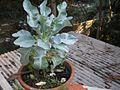 Cauliflower-Plant-on-chedichatti2.JPG