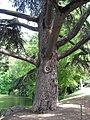 Cedrus libani trunc by Line1.jpg