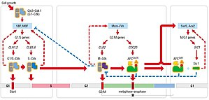 Cyclin-dependent kinase 1 - Image: Cell cycle control system, Morgan 3 34
