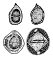 Cell division according to I. D. Chistyakov (1874).png