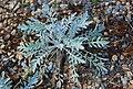 Centaurea niederi 7 4 Philweb.jpg