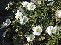 Cerastium latifolium (Kalkalpen-Hornkraut) 1128 IMG