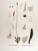 Ceratodon purpureus — Flora Batava — Volume v13.jpg