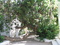 Ceratonia siliqua, Hammamet, Tunisia.JPG