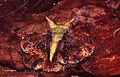 Ceratophrys cornuta03.jpg