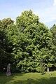 Cercidiphyllum japonicum Oliwa.JPG