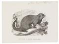 Cercolabes prehensilis - 1700-1880 - Print - Iconographia Zoologica - Special Collections University of Amsterdam - UBA01 IZ20600005.tif