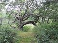 Chêne-pont forêt d'Ecault..JPG
