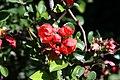 Chaenomeles japonica Texas Scarlet 4zz.jpg