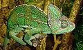 Chameleon - Flickr - gailhampshire.jpg
