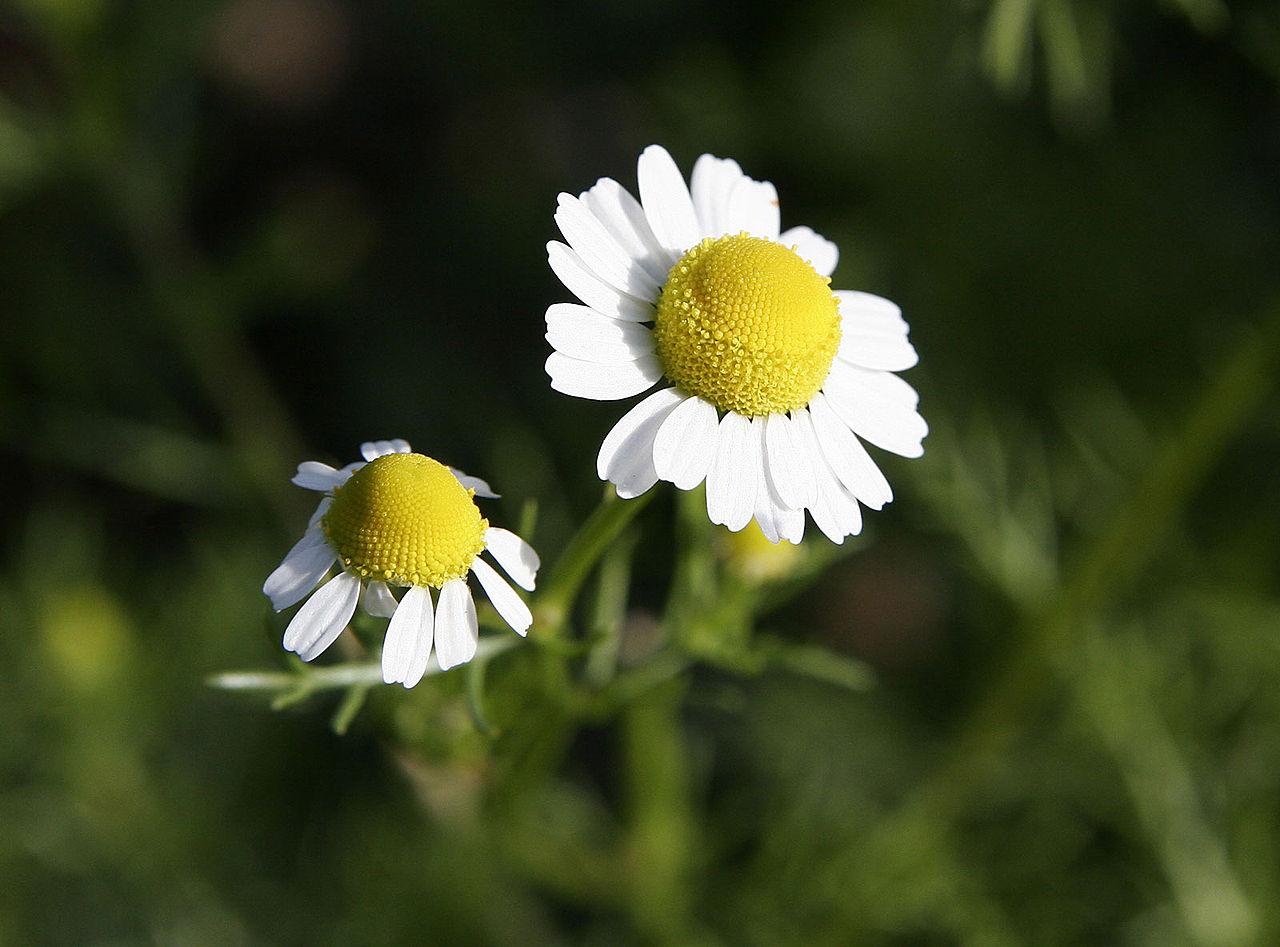 File Chamomile flowers Wikimedia mons