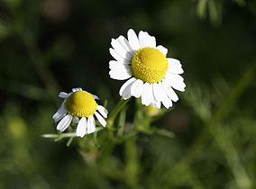 Chamomile flowers.jpg