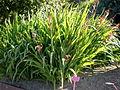 Chasmanthe floribunda 1c.JPG
