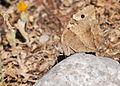 Chazara briseis - Hermit butterfly.jpg