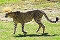 Cheetah (Acinonyx jubatus) (5524074351).jpg