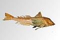 Chelidonichthys lucernus - MHNT - ICHT.1995.70.jpg
