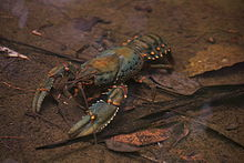 Natural Redclaw Crayfish Food Source