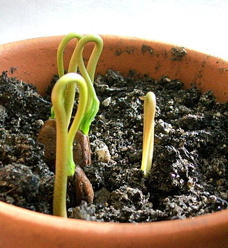 Cherimoya - Cherimoya sprouts emerging