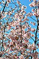 Cherry blossoms Lake Balboa (20140330-0332).JPG