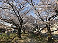 Cherry blossoms near Zasshonokuma Station 20190401-12.jpg
