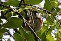 Chestnut-sided Warbler (male) Sabine Woods TX 2018-04-22 14-09-21 (41092258665).jpg