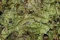Chiloscyphus pallescens (d, 144144-472948) 6496.JPG