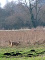 Chinese water deer (Hydropotes inermis) by Rockland Broad - geograph.org.uk - 1692017.jpg
