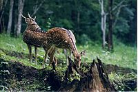 Chital deer pair at Nagarahole wildlife sanctuary.jpg