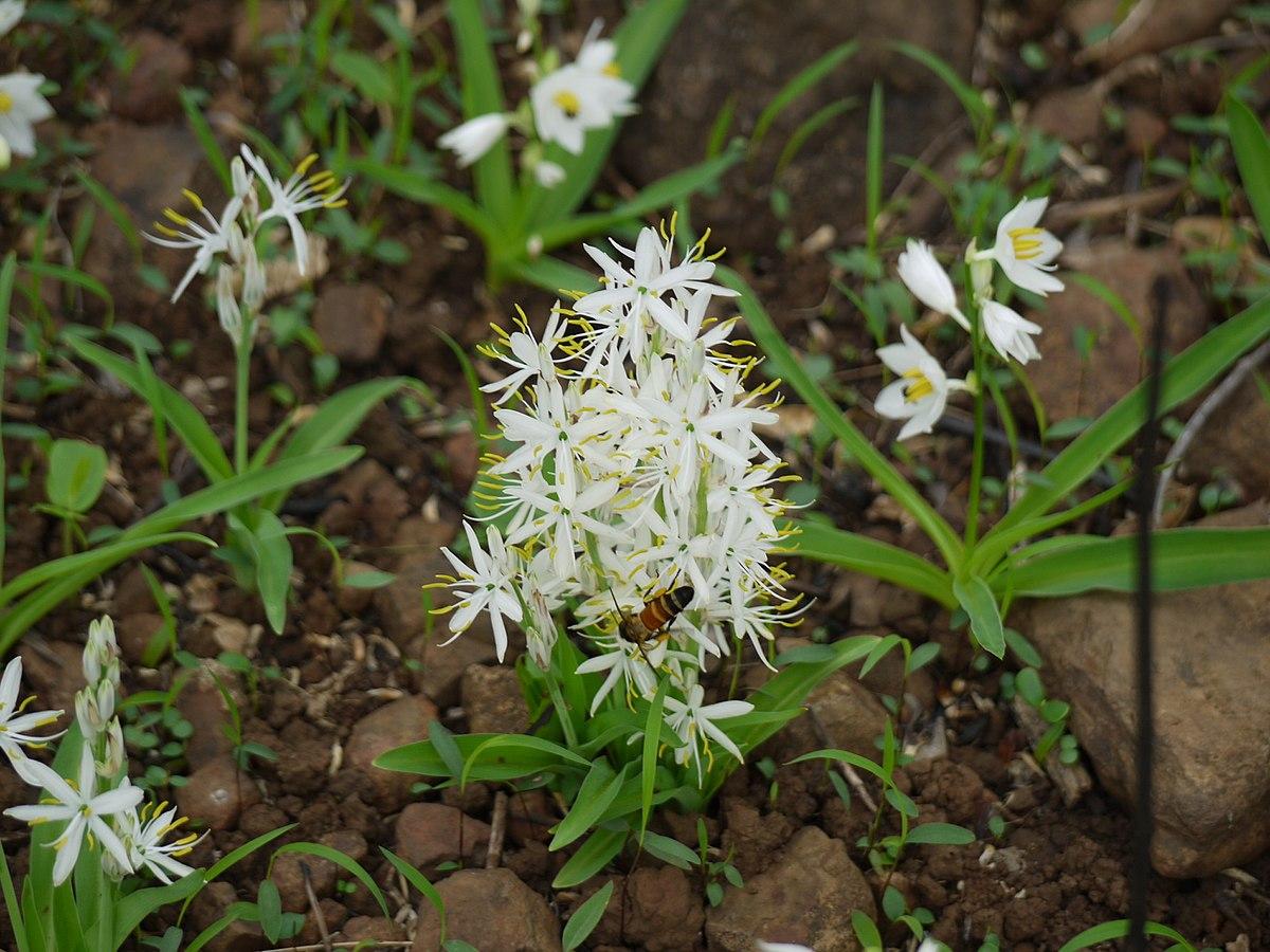 Chlorophytum borivilianum
