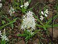 Chlorophytum borivilianum (4695984110).jpg
