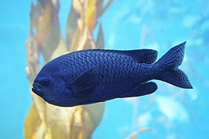 English: The blacksmith Chromis punctipinnis i...