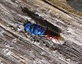Chrysididae. Ruby-tailed Wasp - Flickr - gailhampshire.jpg