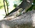 Cicada,8.31.2007.jpg