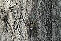 Cicada-2011-08-02.jpg