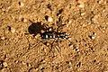 Cicindela aurulenta (36220069535).jpg