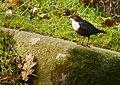 Cinclus cinclus -Glenrothes, Scotland-8.jpg