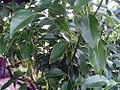 Cinnamomum camphora 0zz.jpg