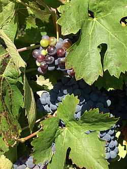 Cinsaut grapes in Luberon.jpg