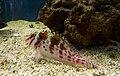 Cirrhitichthys falco Aquarium.jpg