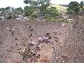 Cirsium phyllocephalum 1.jpg
