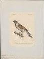 Citrinella pyrrhuloides - 1842-1848 - Print - Iconographia Zoologica - Special Collections University of Amsterdam - UBA01 IZ16100267.tif